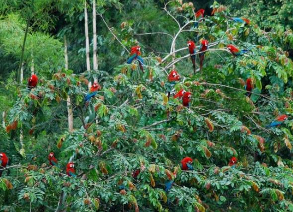 Macaws in the Peruvian Amazon