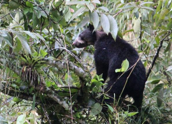 Spectacled Bear (Tremarctos ornatus) cub