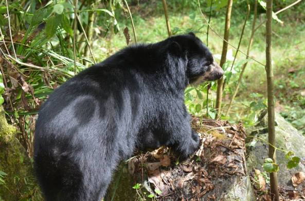 The spectacled bear at Inkaterra