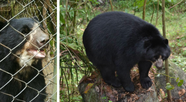 Two new females join The Spectacled Bear Project