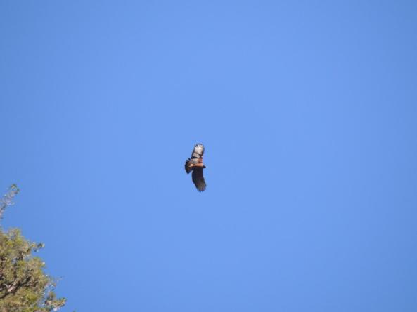 Chesnut Eagle