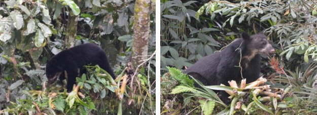 Spectacled Bears at ITMPP